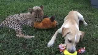 Cheetah Cub and Puppy Become Friends