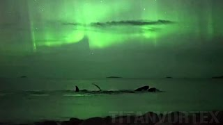 Whales Swimming Under The Northern Lights