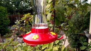 Hummingbird at 240 FPS