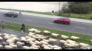 Massive Herd of Sheep in the Street