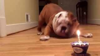 Dog is Unsure of Birthday Cake