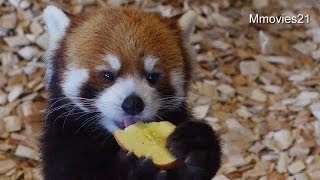 Red Panda Enjoys Some Apple