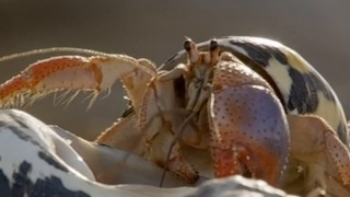 How Hermit Crabs Find a New Home