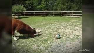 Cows are Smart than you Think