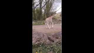 Adorable Baby Giraffe Plays with Seagulls