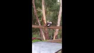 Kookaburra Beats Up Toy Panda