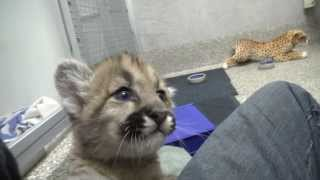 Adorable Cougar Orphans
