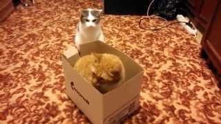 Two Cats Play With a Box