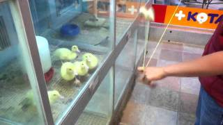 Baby Ducks Fascinated with Yo-Yo