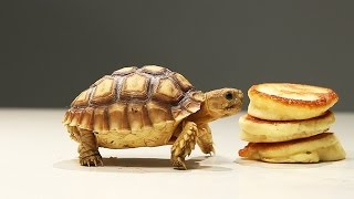 Tortoises and Tiny Pancakes