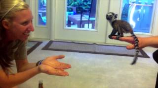 Baby Lemur's Leap of Faith