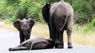 Her of Elephants Help Collapsed Calf