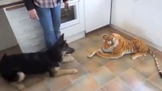 German Shepherd Scared of Toy Tiger