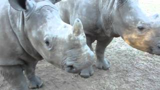 What Do Baby Rhinos Sound like?