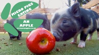 Micro Pigs vs an Apple