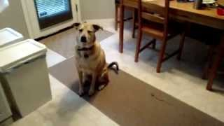 Excited, Yet Disciplined Dog Gets Fed