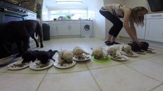 Labrador Puppies Eat for the First Time