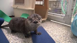 Rescued River Otter Pup