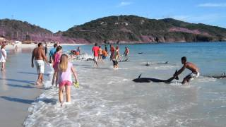 30 Dolphins Beaching Themselves Saved