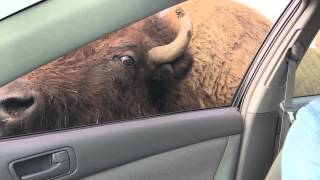 Buffalo Sticks His Tongue in a Car