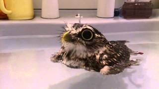 Baby Owl Floats in Water
