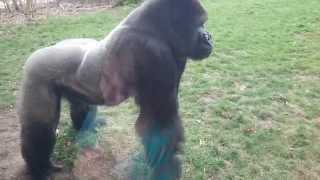 Silverback Cracks the Glass