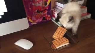 Cute Kitten Tries to Steal Waffle Ice Cream