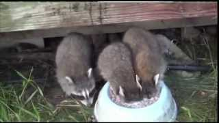 Raccoons Love Their Milk