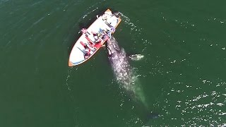Drone Footage Of Grey Whale