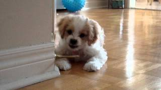 Puppy Discovering the Doorstopper