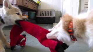 Baby Wolf and Border Collie Pup Tug of War