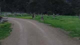 Kangaroo Horde during Bike Ride