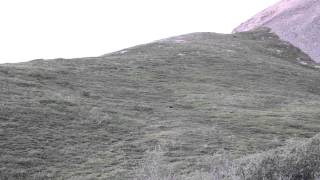 Grizzly Bear Rolls Down Hill