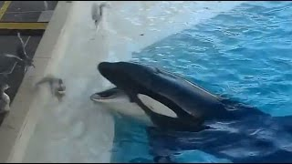 Killer Whale Baits Birds with Fish