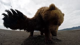 Grizzly Bear Slaps GoPro