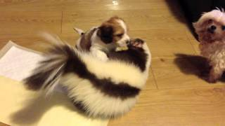 Skunk Playing with a Puppy!