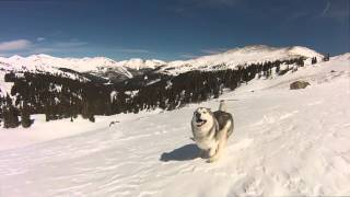 Happiest Husky Runs in the Snow
