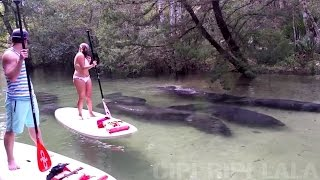 Manatees Swimming Gracefully Under Paddleboarders