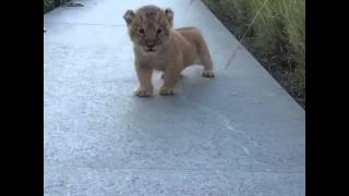 The Cutest Roar